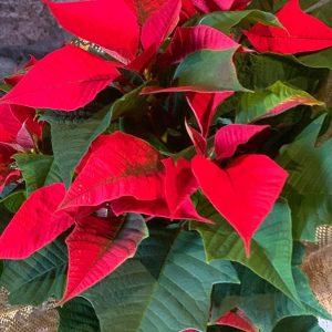 Poinsettia de Navidad